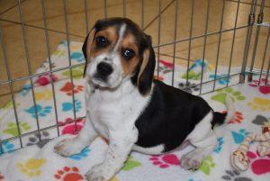 Buy Beagle Puppies