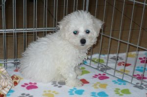 Buy Bichon Frise Puppies