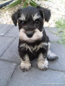 Buy Schnauzer Puppies
