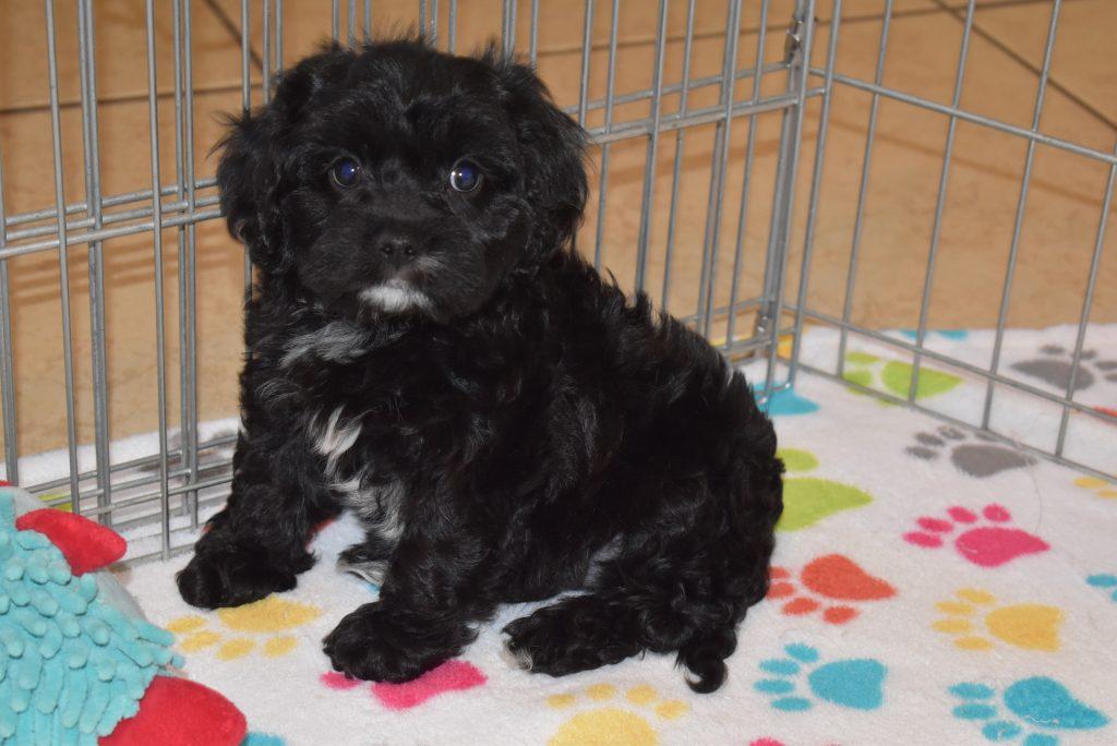 Buy Cavapoo Puppies - Buy Puppies in New Hampshire