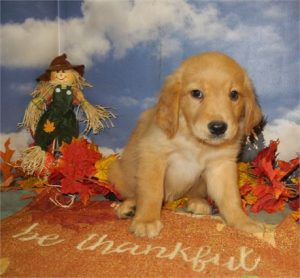 Buy Golden retriever Puppies