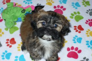 Buy Lhasa Apso Puppies
