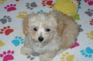 Buy Malti-poo puppies