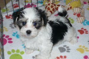 Buy Morkie Puppies