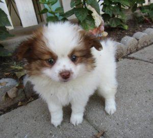 Buy Paperanian Puppies