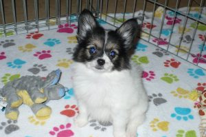 Buy Papillon Puppies