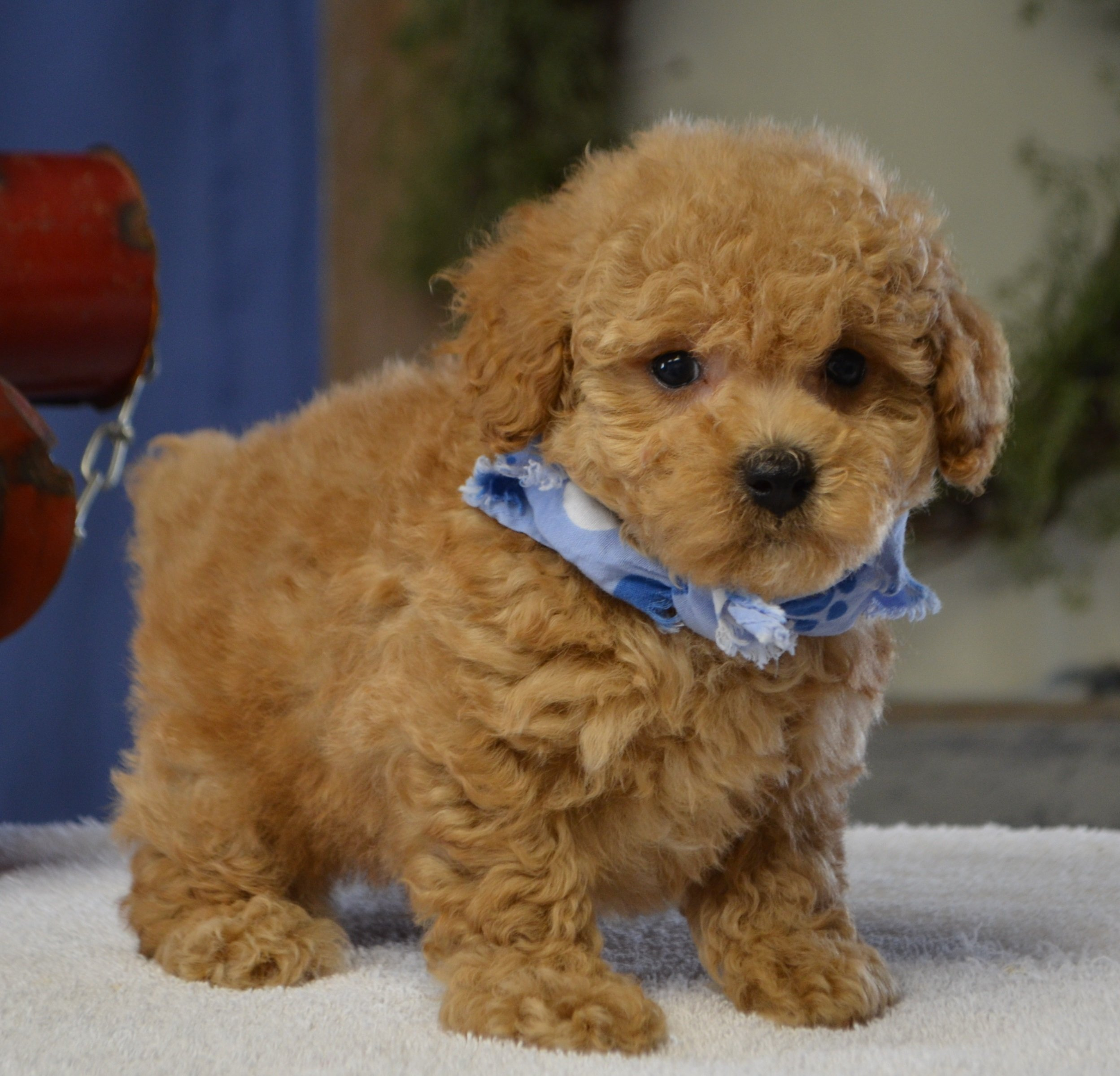 Poodle Puppies In
