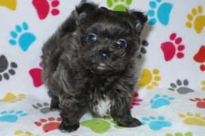 Buy Porkie Puppies