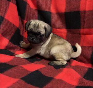 Buy Puggle Puppies