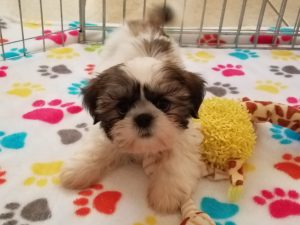 Buy Shih Tzu Puppies