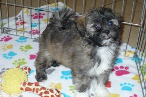 Buy ShihPoo Puppies