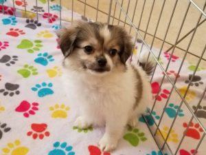Buy Shiranian Puppies