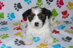 Buy Shorkie Puppies