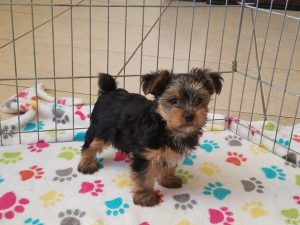 Buy Yorkshire Terrier Puppies