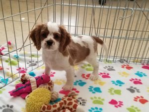 buy cavalier king charles puppies